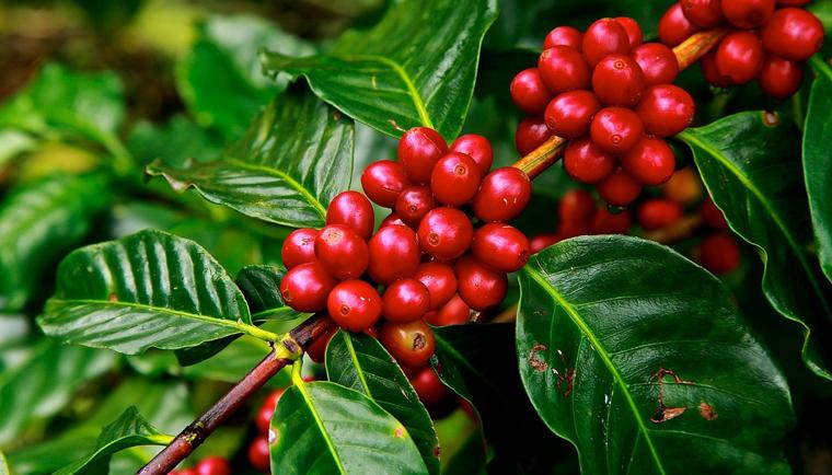 Kofein jako prospěšná látka v kosmetickém průmyslu