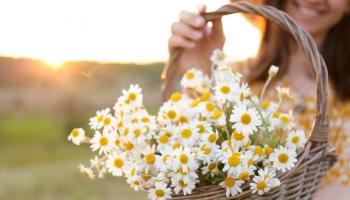 Jaké bylinky sbírat v červenci a jejich účinky